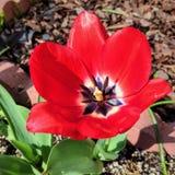 tulpan för röd fjäder för blomma utomhus- Royaltyfria Bilder