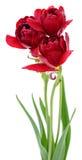 tulpan för red tre Royaltyfria Bilder