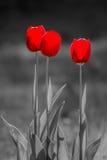 tulpan för red tre Royaltyfri Foto