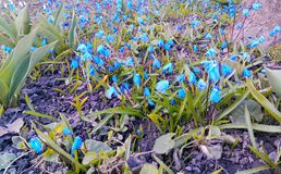 tulpan för skönhetvårblommor arbeta i trädgården lycka för mjukhet för livfödelsevärme Royaltyfri Foto