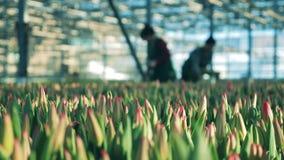 Tulpan för växthusarbetare mot efterkrav från rabatter inomhus arkivfilmer