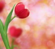 Tulpan formar in av en hjärta Fotografering för Bildbyråer