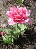 Tulpan 'Foxtrot' (den dubbla tidiga tulpan) Royaltyfria Bilder