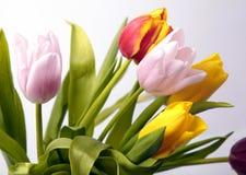 tulpan för fjäder för färgrika blommor för bukett ny Royaltyfria Bilder