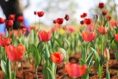 Tulpan härliga buketttulpan färgrika tulpan tulpan i s Fotografering för Bildbyråer