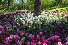 Tulpan härliga buketttulpan färgrika tulpan tulpan i våren, färgglad tulpan, fält av tulpan Arkivbilder