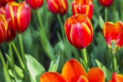 Tulpan härliga buketttulpan färgrika tulpan tulpan i våren, färgglad tulpan Arkivfoton