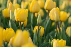 Tulpan härliga buketttulpan färgrika tulpan tulpan i våren, färgglad tulpan Arkivbilder
