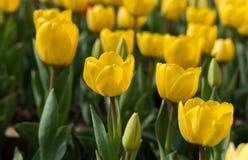 Tulpan härliga buketttulpan färgrika tulpan tulpan i våren, färgglad tulpan Royaltyfria Foton
