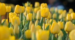 Tulpan härliga buketttulpan färgrika tulpan tulpan i våren, färgglad tulpan Royaltyfri Bild