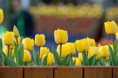 Tulpan härliga buketttulpan färgrika tulpan tulpan i våren, färgglad tulpan Arkivbild
