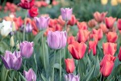 Tulpan härliga buketttulpan färgrika tulpan tulpan i våren, färgglad tulpan Arkivfoto