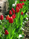 Tulpan härliga buketttulpan färgrika tulpan tulpan i våren, färgglad tulpan Royaltyfri Fotografi