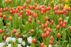 Tulpan härliga buketttulpan tulpan i våren, färgglad tulpan Arkivbild