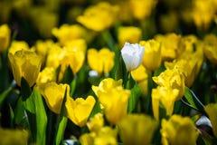 Tulpan härliga buketttulpan tulpan i våren, färgglad tulpan Royaltyfri Bild