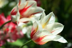 Tulpan i den vita och röda modellen Royaltyfri Bild