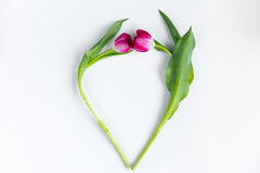 Tulpan i form av hjärta på vit bakgrund Royaltyfri Foto