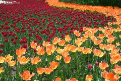 Tulpan i Gatineau Kanada Nordamerika Royaltyfria Bilder