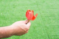 Tulpan i handen för dig Royaltyfria Foton