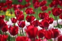Tulpan i många färger i solljus Arkivfoto