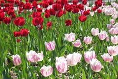 Tulpan i många färger i solljus Arkivbild
