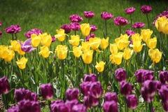 Tulpan i många färger i solljus Arkivbilder