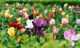 Tulpan i olika färger med vattensmå droppar efter regnet royaltyfri foto