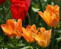 Tulpan i orange och rött Arkivfoto