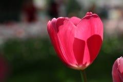 Tulpan i parken Royaltyfria Bilder