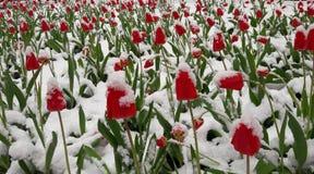Tulpan i snowen royaltyfria bilder