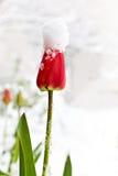 Tulpan i snowen Fotografering för Bildbyråer