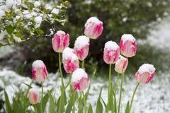 Tulpan i snowen Royaltyfri Bild