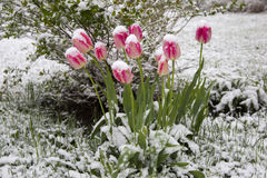 Tulpan i snowen Arkivfoton