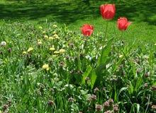 Tulpan i trädgård Arkivbild