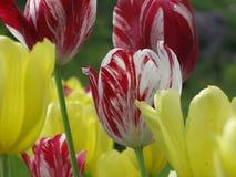 Tulpan i trädgård Arkivfoton