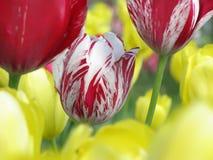 Tulpan i trädgård Royaltyfri Fotografi