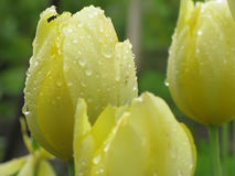 Tulpan i trädgård efter regn Royaltyfria Bilder