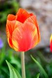 Tulpan i trädgård från Österrike Arkivbild