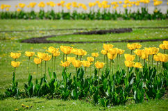 Tulpan i trädgård från tjeck Royaltyfri Bild