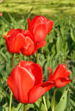 Tulpan i trädgården Arkivbild