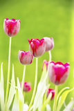 Tulpan naturlig jordsikt Royaltyfri Foto