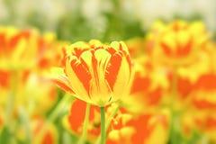 Tulpan naturlig jordsikt Royaltyfria Foton