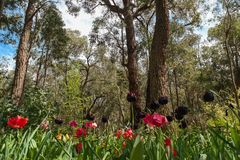 Tulpan och buske Royaltyfria Foton