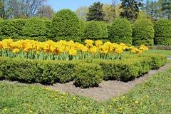 Tulpan och buxbom för guling dubbla i trädgården Royaltyfri Fotografi