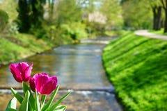 Tulpan och den Oos floden i Baden-Baden Royaltyfria Foton