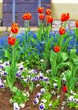 Tulpan och glömmer mig inte blommor i trädgård i Reichenau Royaltyfria Bilder