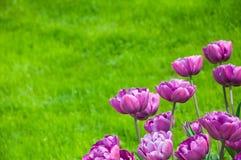 Tulpan och gräs Royaltyfria Foton