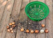 Tulpan och korg för att plantera kulor Fotografering för Bildbyråer