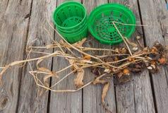 Tulpan och korgar för att plantera kulor Arkivbild