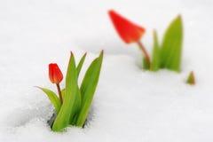 Tulpan och snow Arkivfoton